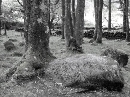 Dark Farms Glenhead and Holm Wood 027 oak growing from stone lr bw